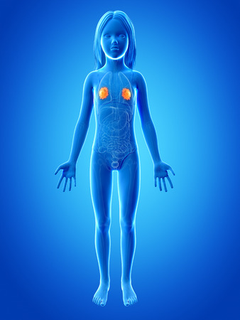 glands: anatomy of a young girl - mammary glands