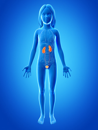 uretra: Anatomía de una joven - el sistema urinario
