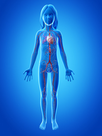 atrium: anatomy of a young girl - vascular system