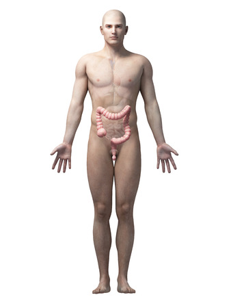 male large intestine: male anatomy illustration - the colon