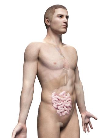 small intestine: male anatomy illustration - the small intestine