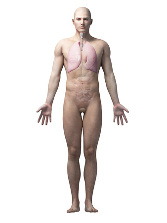 airways: male anatomy illustration - the lung