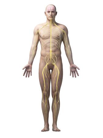 nervios: ilustración de la anatomía masculina - los nervios Foto de archivo