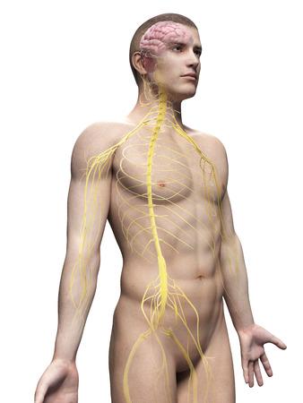 sacral nerves: male anatomy illustration - the nerves