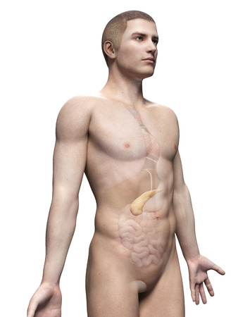 pancreatitis: male anatomy illustration - the pancreas