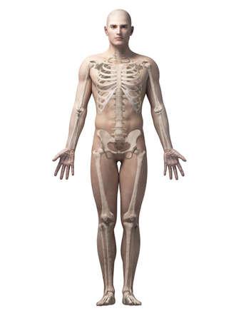 anatomy skeletal: male anatomy illustration - the skeleton