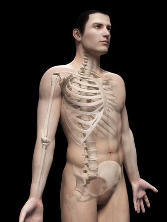 sternum: male anatomy illustration - the skeleton
