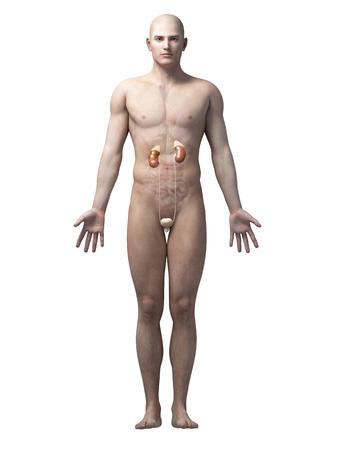 uretra: ilustración de la anatomía masculina - el sistema urinario Foto de archivo