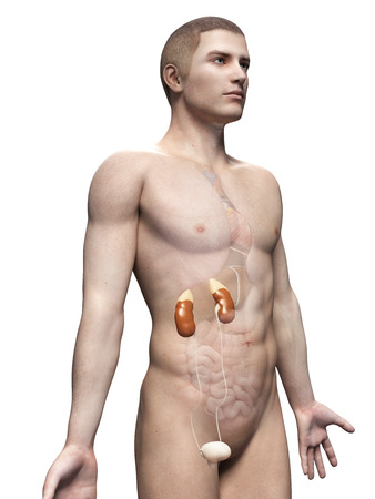 male anatomy illustration - the urinary system illustration