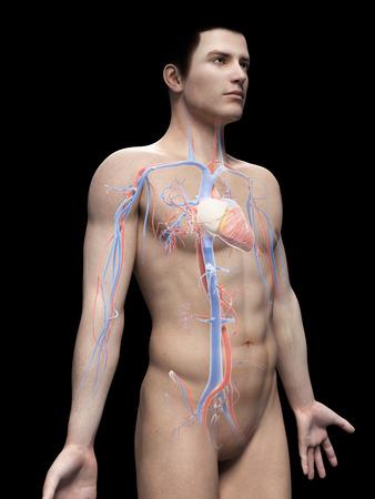 atrium: male anatomy illustration - the vascular system Stock Photo