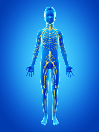 transparent system: anatomy of a young boy - the nervous system Stock Photo