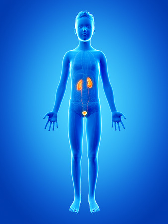 juvenile: anatomy of a young boy - the urinary system Stock Photo