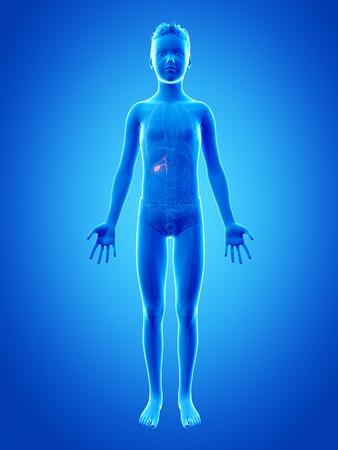 gallbladder: anatomy of a young boy - the gallbladder Stock Photo