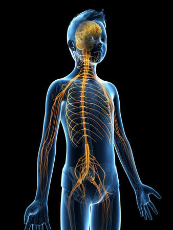 anatomy of a young boy - the nervous system Stock Photo