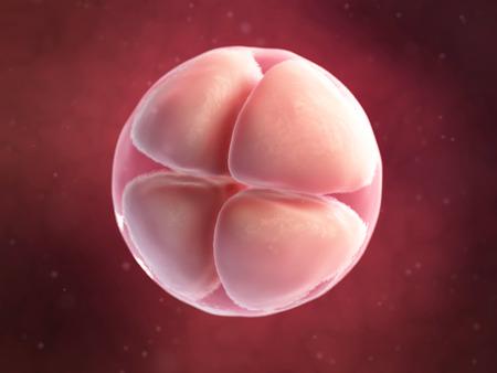 blastocyst: scientific illustration - 4 cell egg Stock Photo
