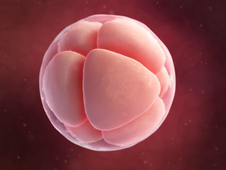 scientific illustration - 8 cell egg illustration