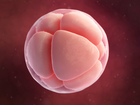 embryology: scientific illustration - 8 cell egg