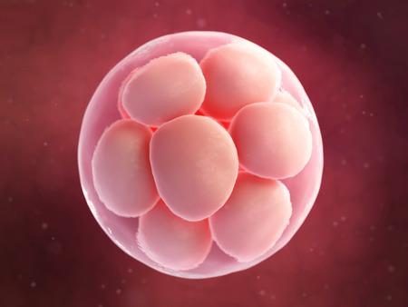 ovulation: scientific illustration - 16 cell egg Stock Photo