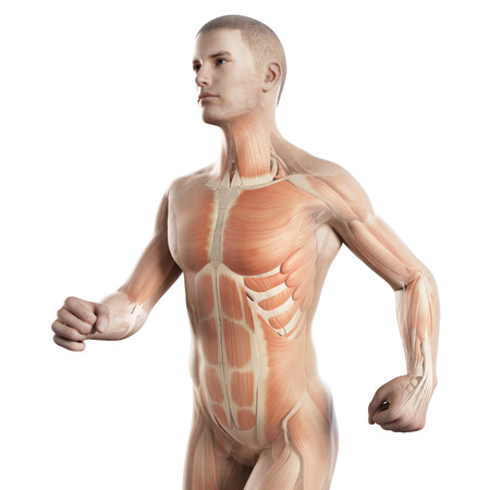 anatomy muscle: anatomy illustration showing the muscles of a jogger