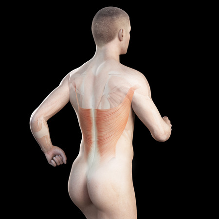 dorsi: illustration showing the latissimus of a jogger