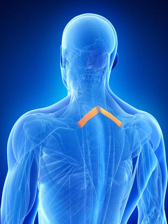 minor: anatomy illustration showing the rhomboid minor