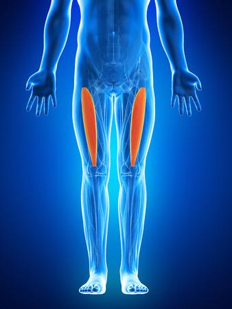 musculus: anatomy illustration showing the vastus intermedius Stock Photo