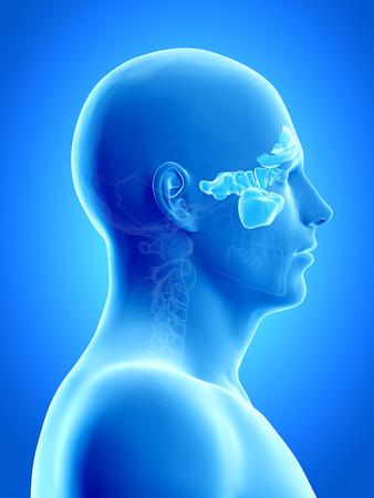 anatomy illustration showing the sinuses Stock Photo