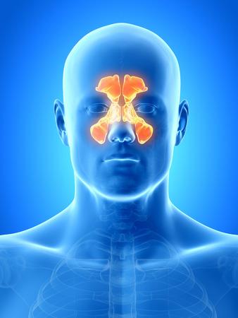 nasal: anatomy illustration showing the sinuses Stock Photo