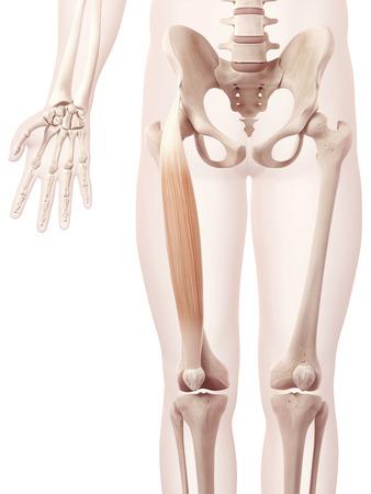 rectus: anatomy illustration showing the rectus femoris Stock Photo