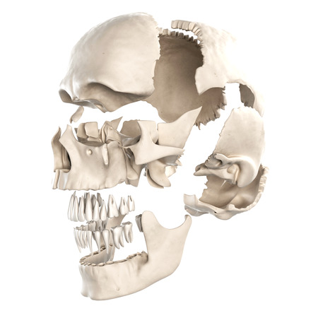 anatomy illustration showing the parts of the human skull illustration