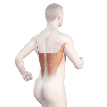 latissimus: illustrazione che mostra la dorsale di un jogger