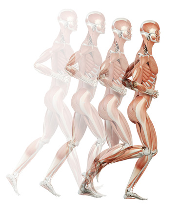 running cycle illustration - the muscles