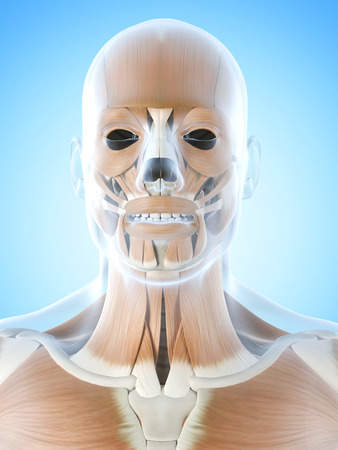 facial muscles: anatomy illustration showing the facial muscles