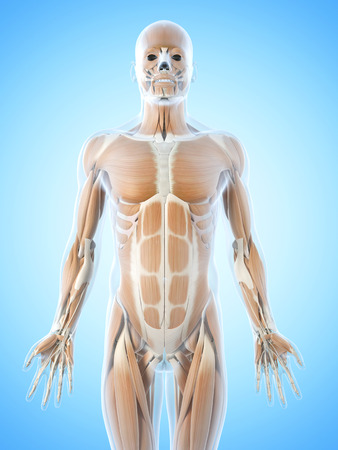 anatomy muscles: anatomy illustration showing the abdominal muscles Stock Photo