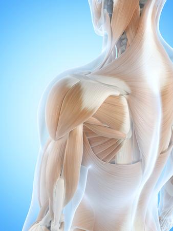 shoulder anatomy: anatomy illustration showing the shoulder muscles