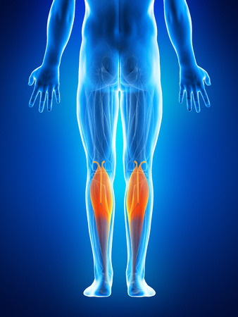 gastrocnemius: anatomy illustration showing the gastrocnemius Stock Photo