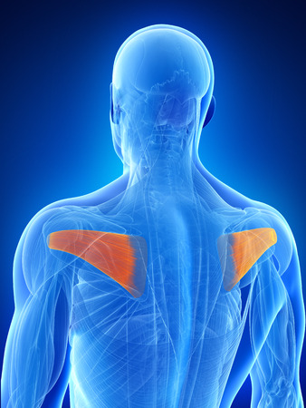 infraspinatus: anatomy illustration showing the infraspinatus