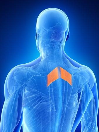 anatomy illustration showing the rhomboid major
