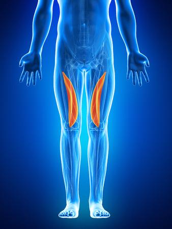 musculus: anatomy illustration showing the vastus medialis