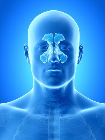 anatomy illustration showing the sinuses illustration