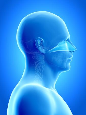 anatomy illustration showing the nasal cavity illustration