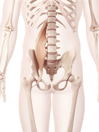 anatomy illustration showing the psoas major