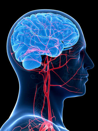 medical illustration of the brain and head arteries