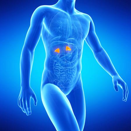 suprarrenales: ilustración médica de las glándulas suprarrenales