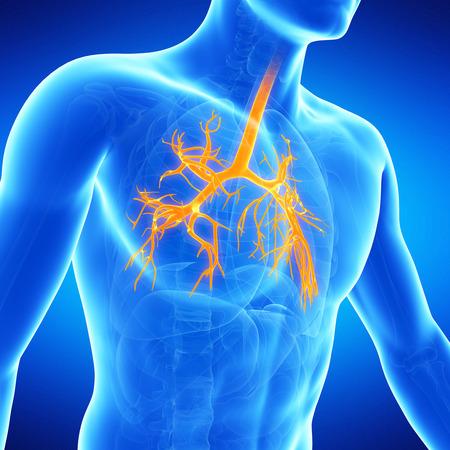 bronchi: medical illustration of the human bronchi