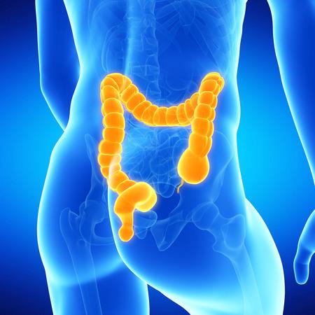 medical illustration of the human colon illustration