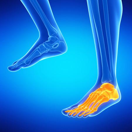 tarsal: medical illustration of the foot bones