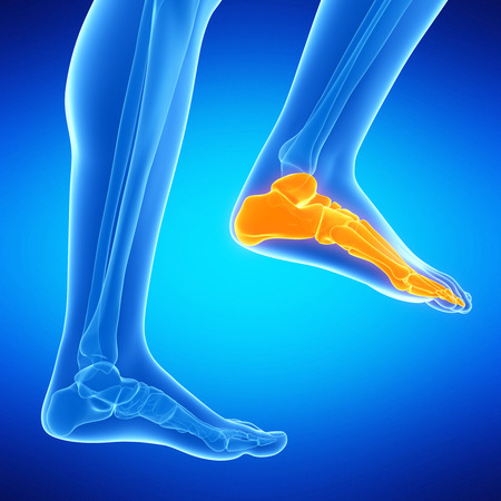 male feet: medical illustration of the foot bones