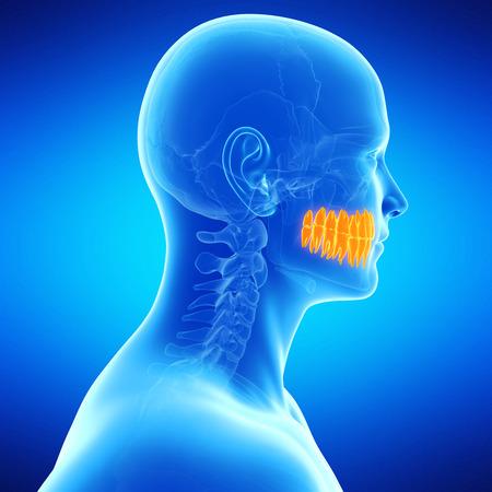 medical illustration of the teeth illustration