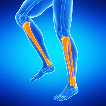 fibula: medical illustration of the lower leg bones